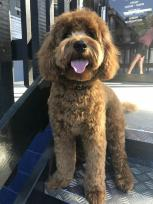 "Fletcher at 10 months! @fletcher.the.cavoodle Mum=Rosebud Dad=Chilli ""He is very cheeky and loves hugs!"""