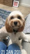 """Thank you for our gorgeous Banksia Park Cavoodle Doris! She's just the cutest, loveliest natured dog!"""