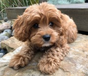 Ivy (Cavoodle) who was born 27th September 2018. Mum Peaches, Dad Kobie @amandaenorman