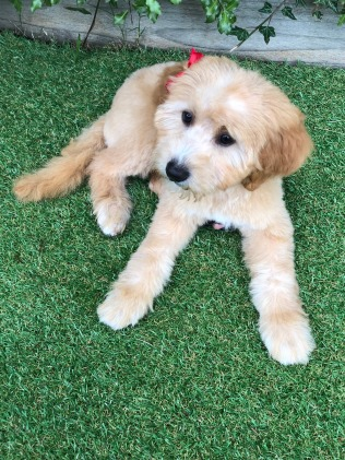 Milli, at 12 weeks. We took Milli for her first full groom today and she looks adorable! Milli, born Nov 2018 to Adelaide and Simon.
