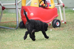 Mame-Poodle-Banksia Park Puppies - 10 of 45