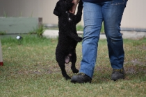 Mame-Poodle-Banksia Park Puppies - 14 of 45