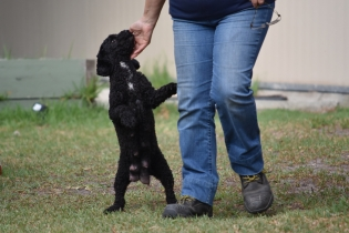 Mame-Poodle-Banksia Park Puppies - 15 of 45