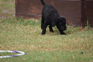Mame-Poodle-Banksia Park Puppies - 17 of 45