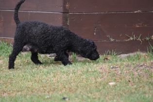 Mame-Poodle-Banksia Park Puppies - 18 of 45