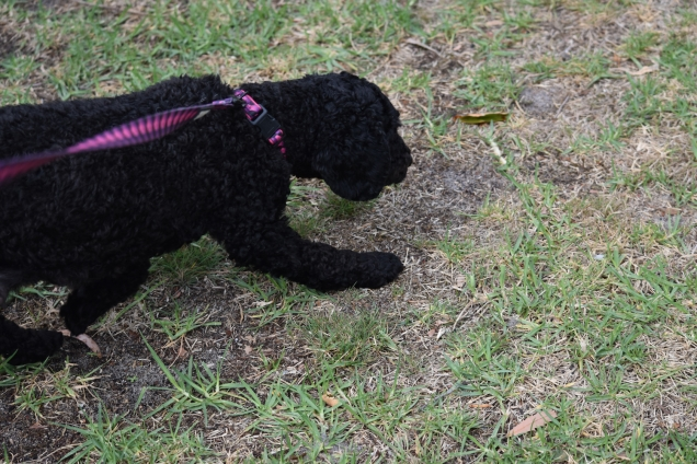 Mame-Poodle-Banksia Park Puppies - 2 of 45