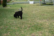 Mame-Poodle-Banksia Park Puppies - 27 of 45