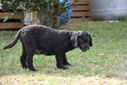 Mame-Poodle-Banksia Park Puppies - 31 of 45