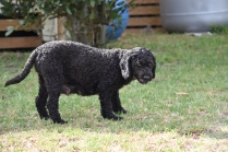 Mame-Poodle-Banksia Park Puppies - 33 of 45