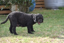 Mame-Poodle-Banksia Park Puppies - 34 of 45