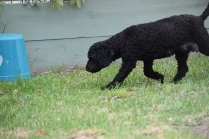 Mame-Poodle-Banksia Park Puppies - 35 of 45