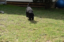 Mame-Poodle-Banksia Park Puppies - 36 of 45