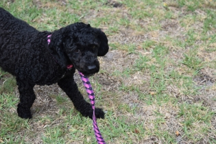 Mame-Poodle-Banksia Park Puppies - 4 of 45