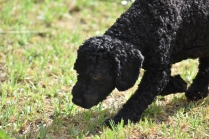 Mame-Poodle-Banksia Park Puppies - 43 of 45