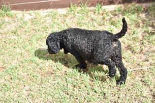 Mame-Poodle-Banksia Park Puppies - 44 of 45