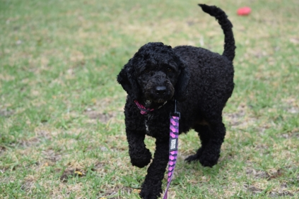 Mame-Poodle-Banksia Park Puppies - 5 of 45