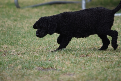 Mame-Poodle-Banksia Park Puppies - 8 of 45