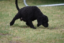 Mame-Poodle-Banksia Park Puppies - 9 of 45