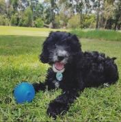 Luna loving play-time at the park! DOB: 10.11.17 @luna_spoodle_