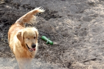 Shari-Golden Retriever- Banksia Park Puppies - 1 of 30