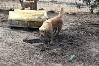 Shari-Golden Retriever- Banksia Park Puppies - 10 of 30