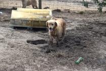Shari-Golden Retriever- Banksia Park Puppies - 11 of 30