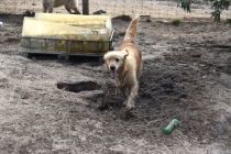 Shari-Golden Retriever- Banksia Park Puppies - 12 of 30
