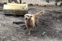 Shari-Golden Retriever- Banksia Park Puppies - 14 of 30
