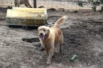 Shari-Golden Retriever- Banksia Park Puppies - 15 of 30