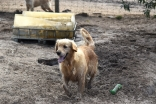 Shari-Golden Retriever- Banksia Park Puppies - 16 of 30