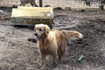 Shari-Golden Retriever- Banksia Park Puppies - 17 of 30