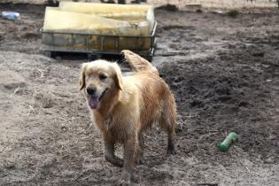 Shari-Golden Retriever- Banksia Park Puppies - 19 of 30