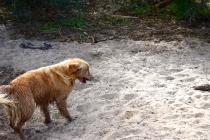 Shari-Golden Retriever- Banksia Park Puppies - 2 of 30