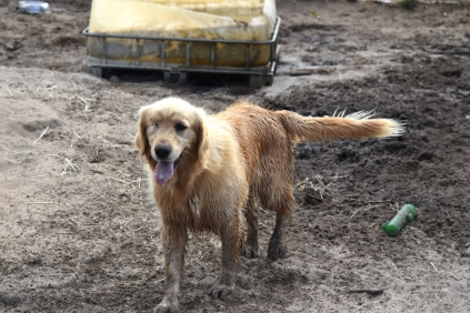 Shari-Golden Retriever- Banksia Park Puppies - 20 of 30