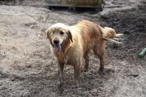 Shari-Golden Retriever- Banksia Park Puppies - 24 of 30