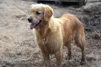 Shari-Golden Retriever- Banksia Park Puppies - 25 of 30