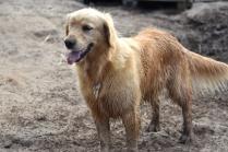 Shari-Golden Retriever- Banksia Park Puppies - 26 of 30
