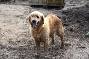 Shari-Golden Retriever- Banksia Park Puppies - 27 of 30