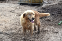 Shari-Golden Retriever- Banksia Park Puppies - 28 of 30