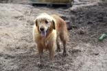 Shari-Golden Retriever- Banksia Park Puppies - 29 of 30