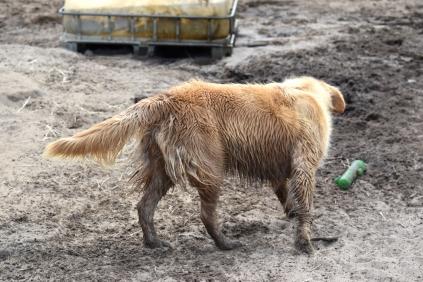 Shari-Golden Retriever- Banksia Park Puppies - 30 of 30