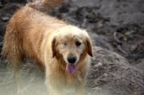 Shari-Golden Retriever- Banksia Park Puppies - 5 of 30