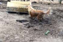 Shari-Golden Retriever- Banksia Park Puppies - 6 of 30