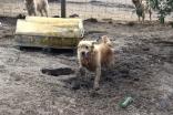 Shari-Golden Retriever- Banksia Park Puppies - 7 of 30