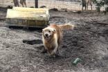 Shari-Golden Retriever- Banksia Park Puppies - 8 of 30