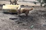 Shari-Golden Retriever- Banksia Park Puppies - 9 of 30