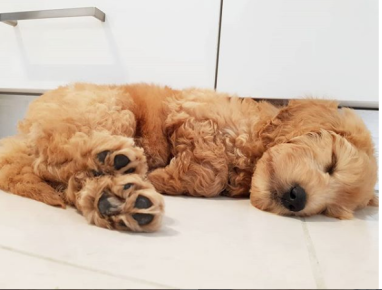 Puppy-nap! @wilbur_the_groodle