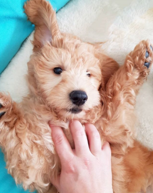 Tickle Time! @wilbur_the_groodle