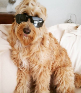 Too cool for puppy school! @marley_the_groodle