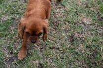 Nola-Cavalier-Banksia Park Puppies - 10 of 21